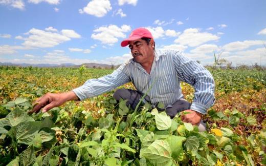 bean crop honduras international centre for tropical agriculture